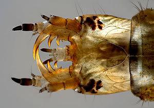 Estados Unidos, 07/10/2007 - Larva de um escaravelho (Hidrophilidae)
