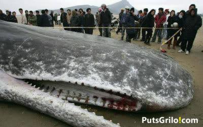Baleia Cachalote Morta