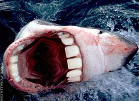 Tubarão Dentado: Super Dentes!