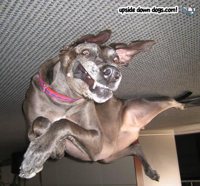 Blogs: Upside Down Dogs / Cachorros de Ponta Cabeça