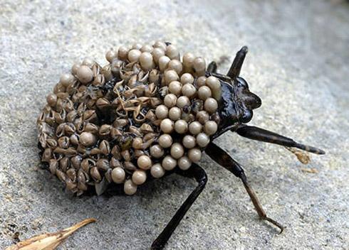 bizarree bug 10 Os Insetos Mais Bizarros do Mundo