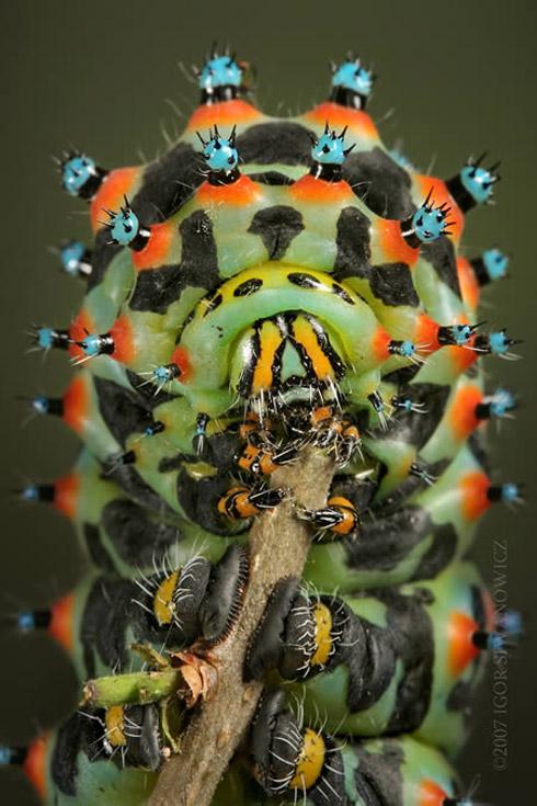 bizarree bug 5 Os Insetos Mais Bizarros do Mundo