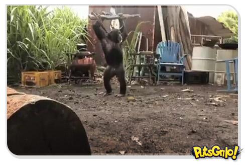 Filme Planeta do Macacos laça vídeo viral do macaco armado