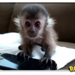 Macaco se divertindo com iPhone