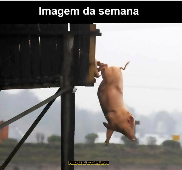 porco-caindo