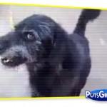 cachorro-curintiano